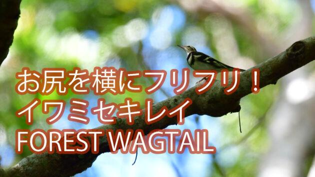 【お尻を横にフリフリ!】イワミセキレイ FOREST WAGTAIL
