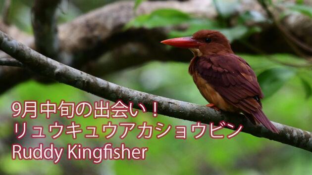 【9月中旬の出会い!】リュウキュウアカショウビン Ruddy Kingfisher