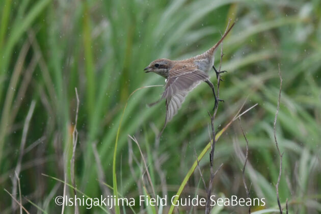 亜種不明!?アカモズかシマアカモズの幼鳥。Brown shrike