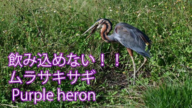 【飲み込めない!!】ムラサキサギ Purple heron