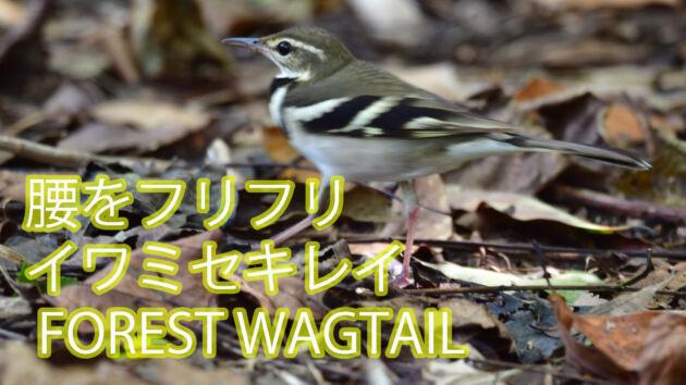 【腰をフリフリ】 イワミセキレイ  FOREST WAGTAIL